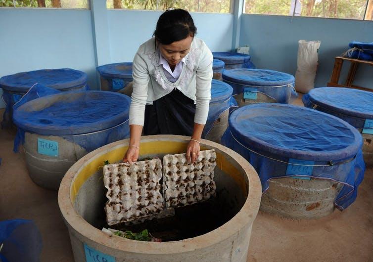 Élevage de criquets destinés à la consommation dans une ferme laboratoire de l'Université nationale du Laos à Vientiane.